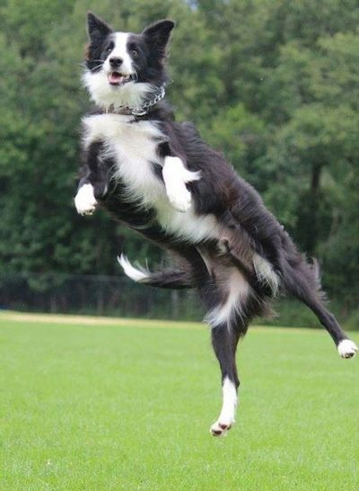 Border Collie jump