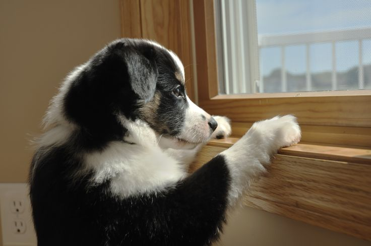 Border Collie waiting