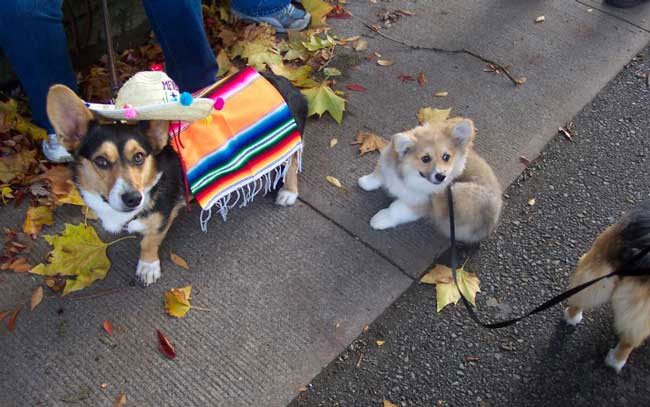 Halloween Costumes For Corgis