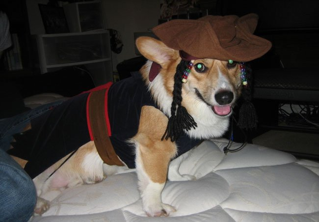 Captain Jack Sparrow corgi