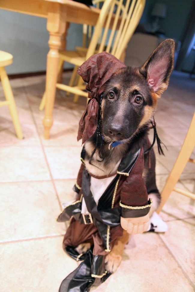 german shepherd spider costume 19 costumes that prove german shepherds always win at 3055