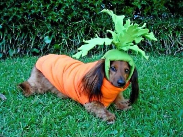 Carrot dachshund costume
