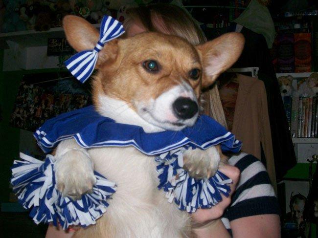 Cheerleader corgi