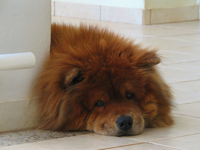 Chow Chow lying face eyes