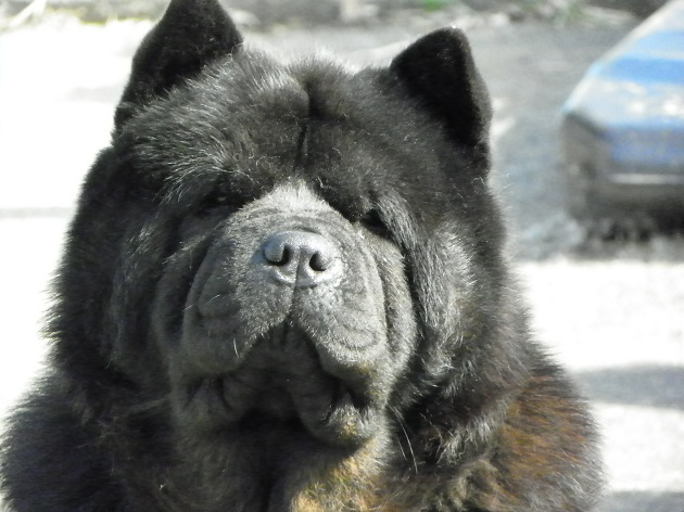 Chow Chow sad face