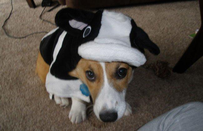 Cow corgi