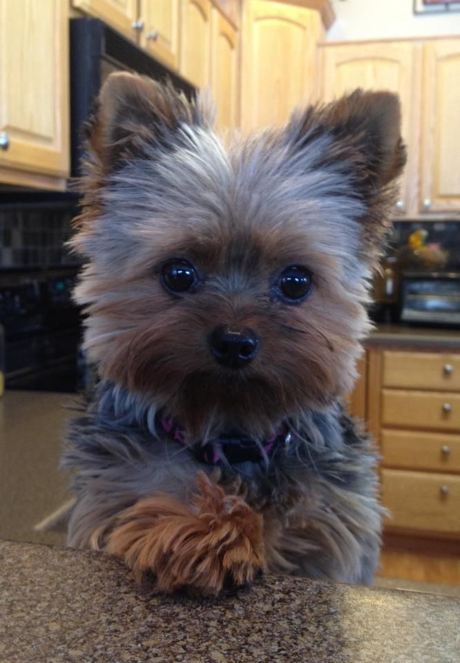 16 reasons yorkshire terriers are not the friendly dogs. Black Bedroom Furniture Sets. Home Design Ideas