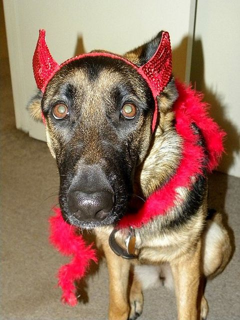 german shepherd spider costume 19 costumes that prove german shepherds always win at 3916