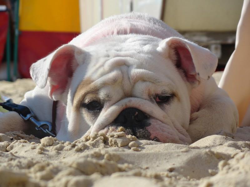 18 Things All English Bulldog Owners Must Never Forget Sad Bulldog Face