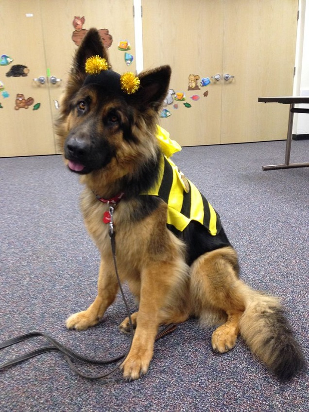 german shepherd spider costume 19 costumes that prove german shepherds always win at 3745