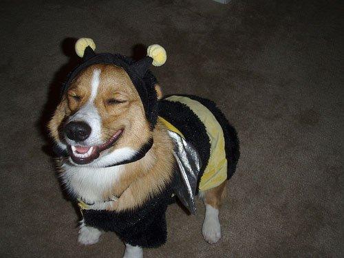 Happy Bee corgi