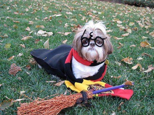 Harry Potter shih tzu
