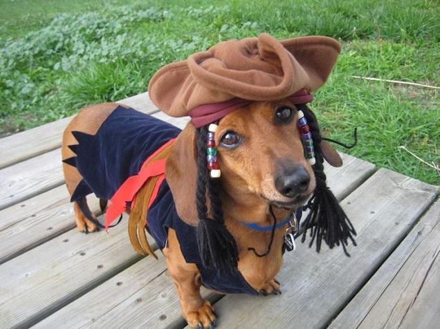 Jack Sparrow dachshund