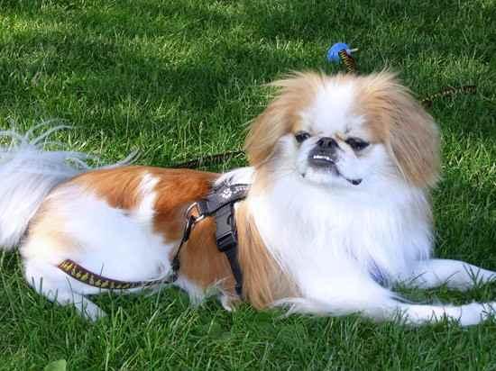 Japanese Chin Dog Names