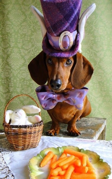 Mad Hatter doxie