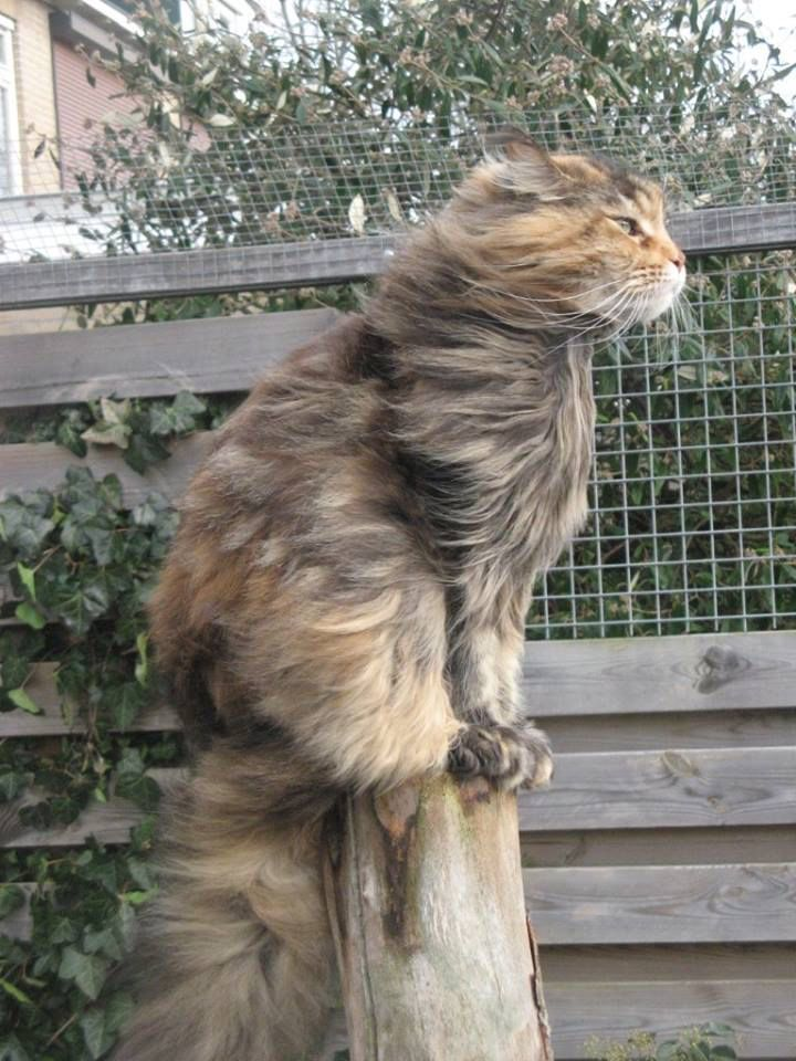 16 reasons maine coons are not the friendly cats everyone for Koi pond maine coon cattery