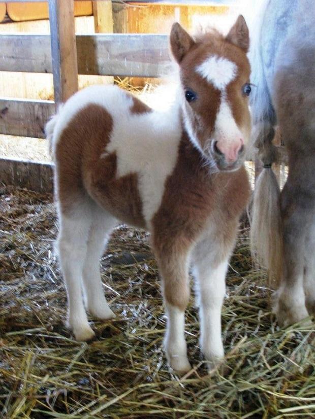 Mini foal love