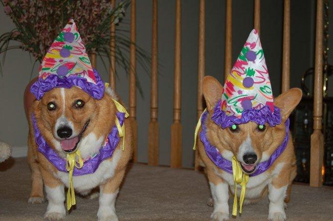 Party Animals corgis