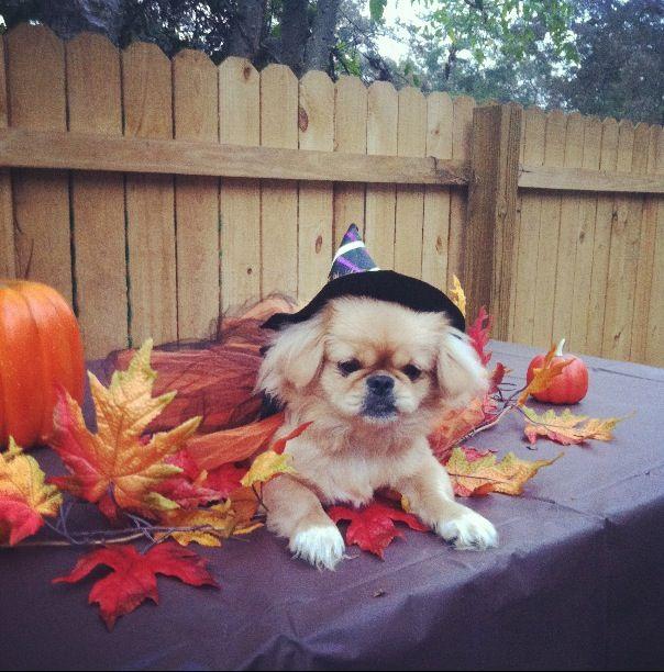 Pekingese puppy costume