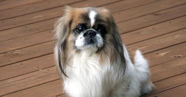 79 Most Por Pekingese Dog Names