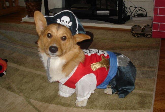Pirate corgi