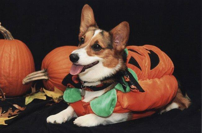 Pumpkin corgi