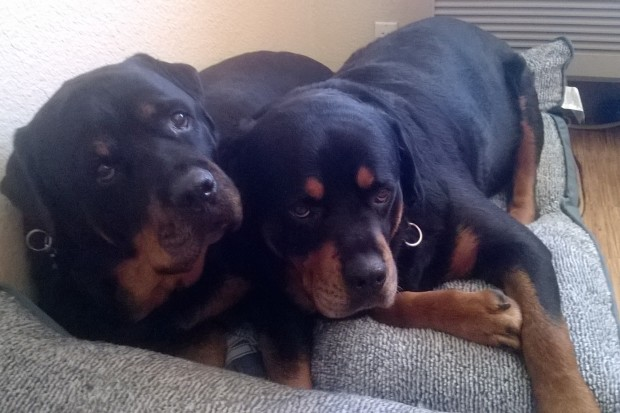 Can Rottweilers Be Inside Dogs