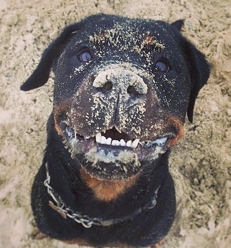 Rottweiler muddy