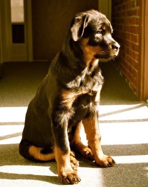 Rottweiler puppy waiting