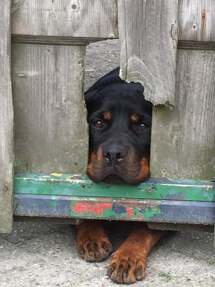 Rottweiler sad dog