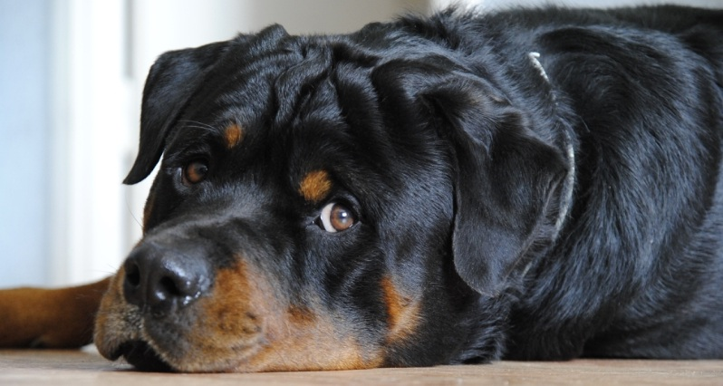 14 Reasons Rottweilers Are The Worst Indoor Dog Breeds Of All Time