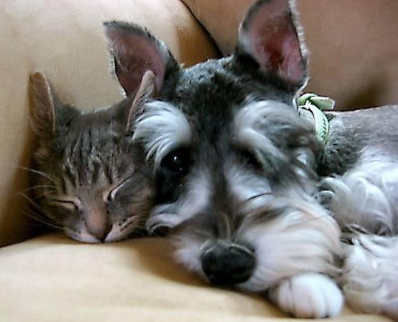 Schnauzer and cat