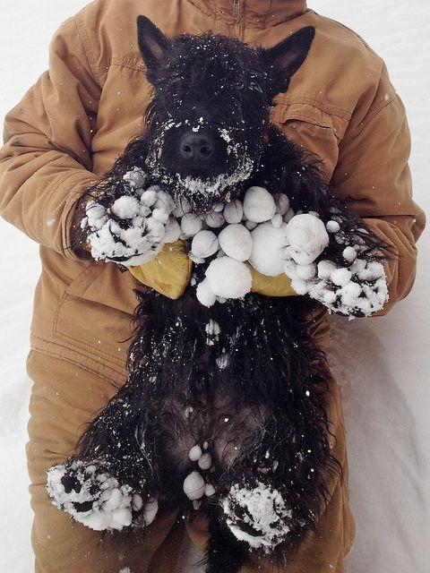Schnauzer snow
