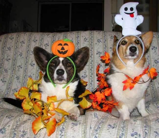 Spirit of Halloween corgis