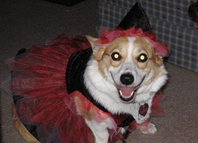 Witch Princess Fairy corgi