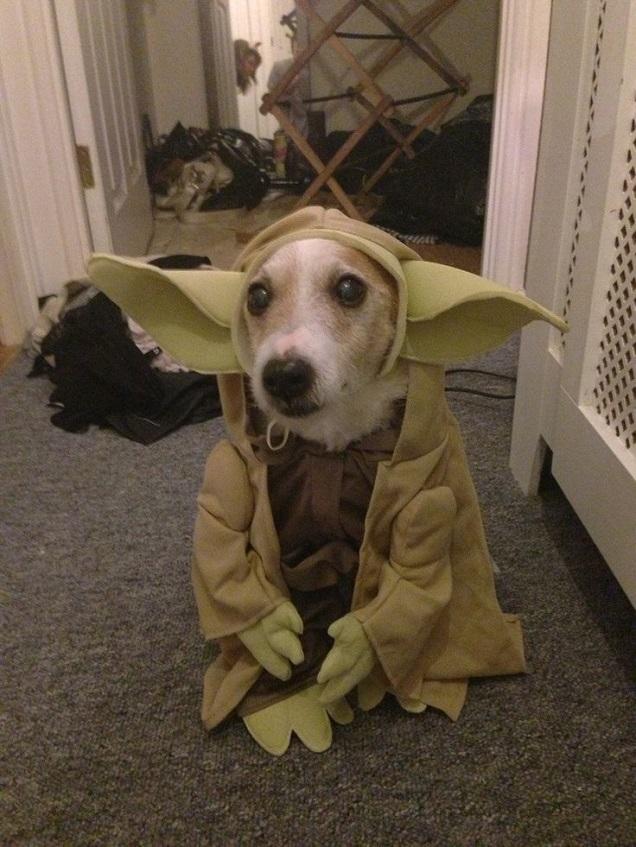 Yo-dog jack russell halloween