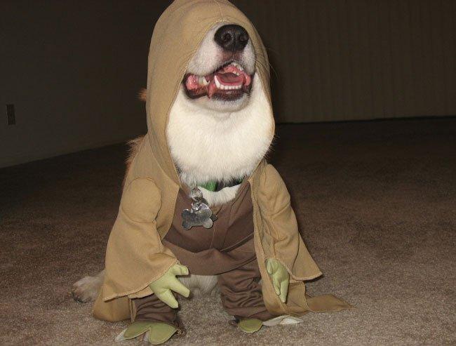 Yoda corgi