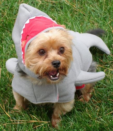 Yorkie Halloween Costumes Yorkies With Halloween Costumes