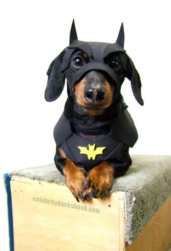 batman dachshund