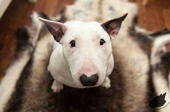 beautiful eyes face bull terrier