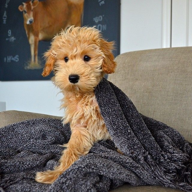 beautiful goldendoodle photo pics