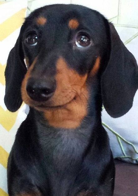 18 Reasons Dachshunds Are The Worst Indoor Dog Breeds Of