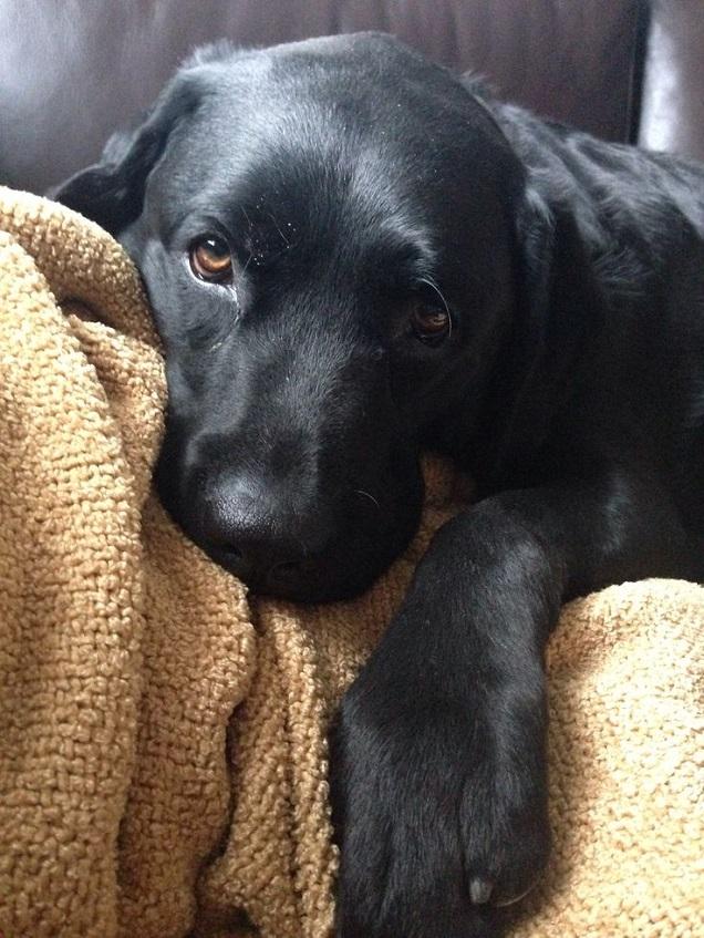 Black lab rottweiler puppies