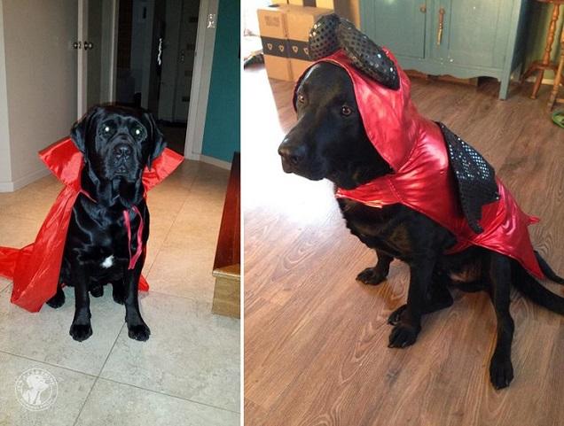 black lab halloween costume