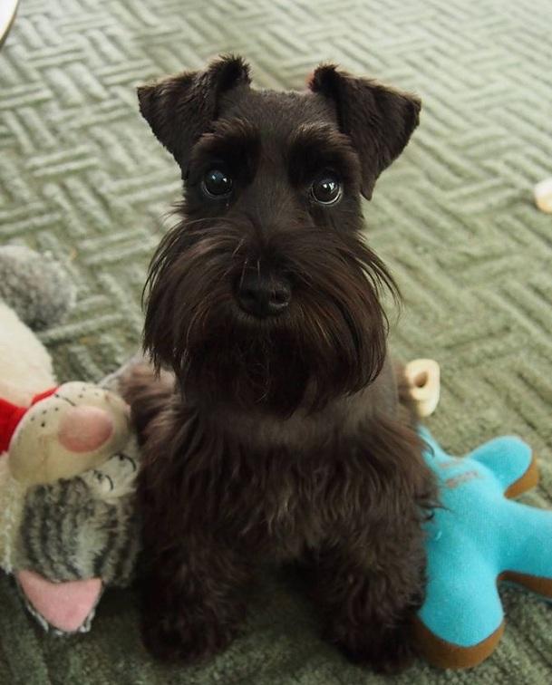black schnauzer dog