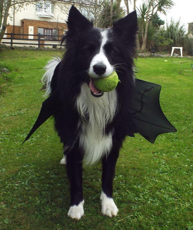 border collie halloween bat