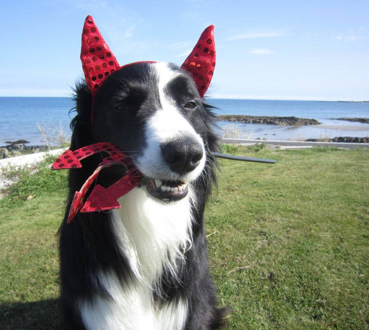 border collie halloween devil & 8 Costumes That Prove Border Collies Always Win At Halloween
