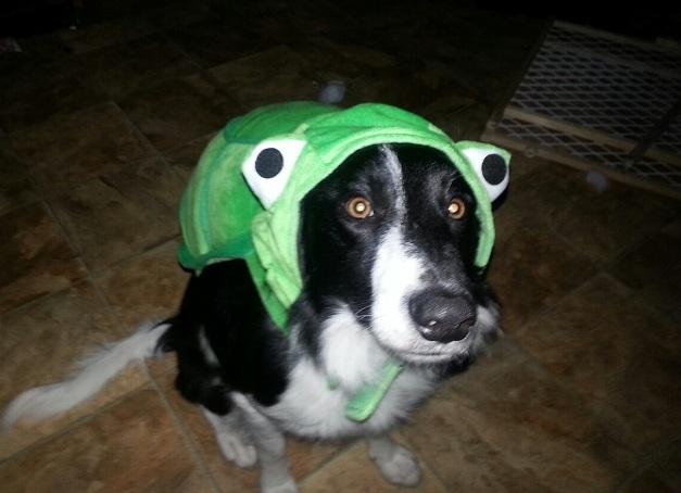 border collie halloween frog