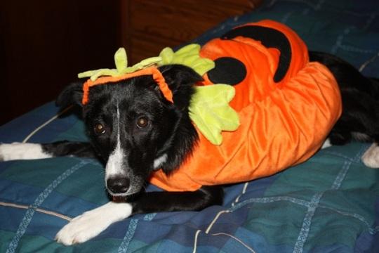 border collie halloween pumpkin