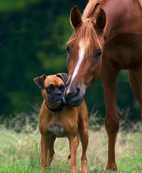 boxer horse friends